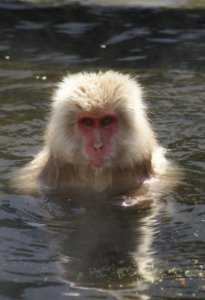 Onsen monkey - Nagano