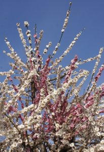 Plum grove - Osaka
