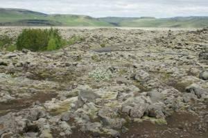 Moss growing on lava rocks